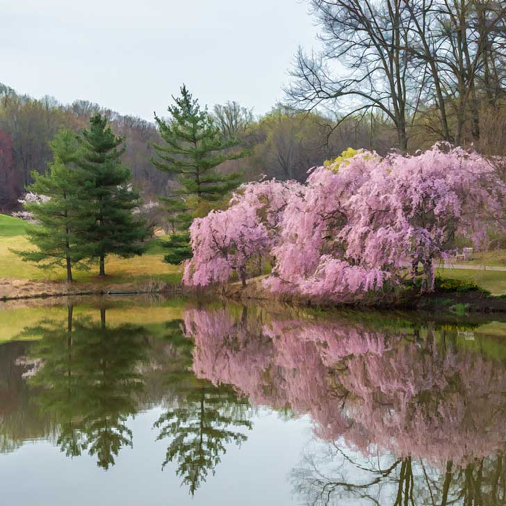 Cherry Blossoms Virginia - Meadowlark Botanical Gardens in Vienna - find the cherry trees surrounding the lake near the entrance to the park as well as walking paths (pc: Tom Stovall) // localadventurer.com