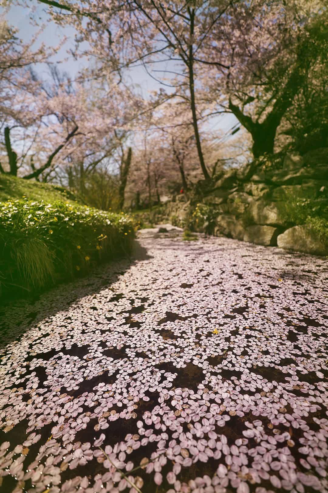 Cherry Blossoms Kenwood Neighborhood