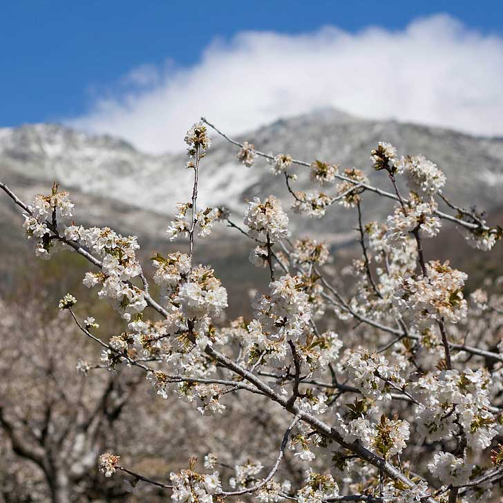 Jerte Valley Spain - Fiesta del Cerezo en Flor - Best Places to See Cherry Blossoms in the World - There are over 2 million cherry trees in Jerte Valley // localadventurer.com
