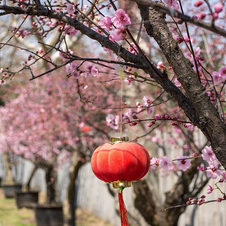 Cherry Blossoms Shanghai China (pc: Alessandro Miraldi) - There are over 12,000 cherry trees and over 60 varieties in Gucun Park which has the largest cherry tree collection in Shanghai // localadventurer.com