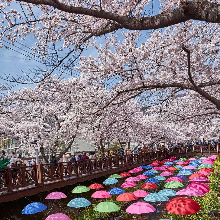 Jinhae South Korea (pc: Ryan-so) - Cherry Blossom Korea - Head to Jinhae to find a beautiful display of pink cherry tree blossoms and lots of local Korean food and culture // localadventurer.com
