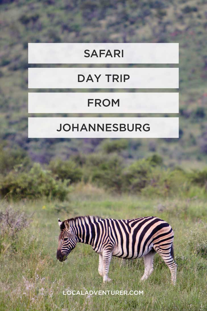 Pilanesberg National Park Safari - an Amazing Day Trip from Johannesburg South Africa // localadventurer.com