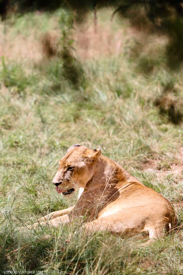The Lion Park in the Cradle of Humankind is a great way to encounter some of Africa's big five especially if you're only in Johannesburg South Africa for a short time,// localadventurer.com
