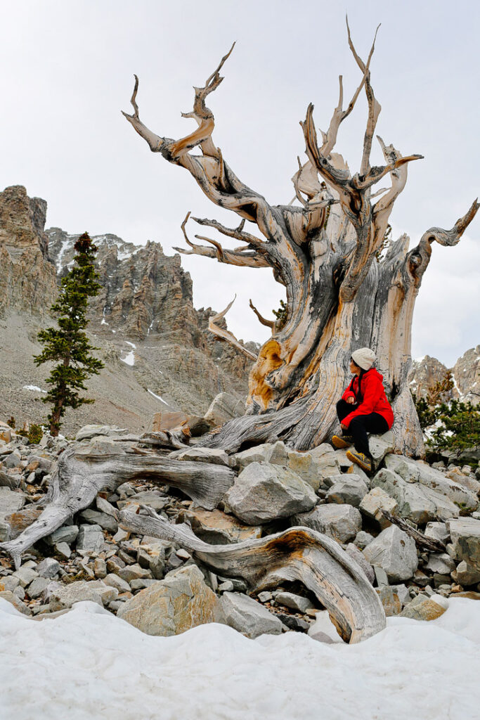 Bristlecone Trail, Great Basin National Park, Nevada + Essential Tips for Your Visit to the Park // localadventurer.com