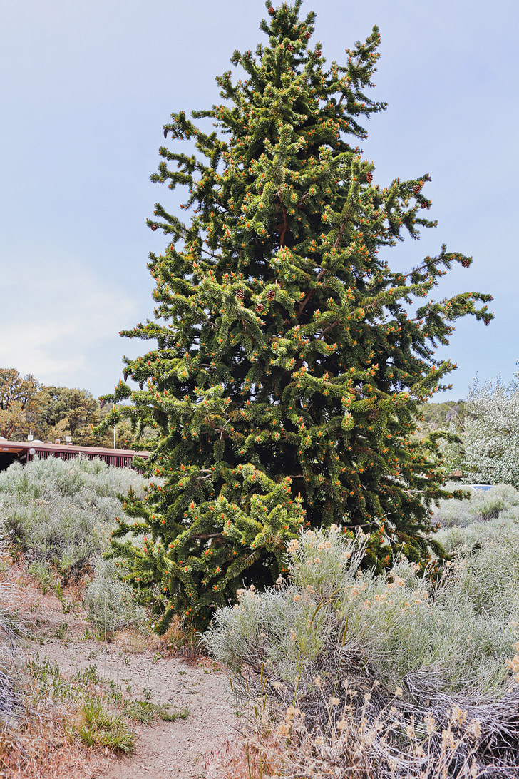Bristlecone Pine Tree at the Visitor Center, Great Basin National Park, Nevada + Essential Tips for Your Visit to the Park // localadventurer.com