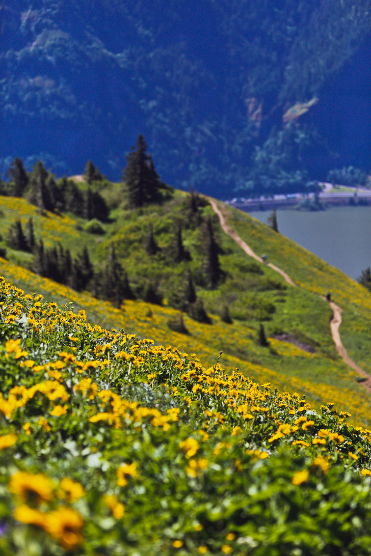 Best Wildflower Hike in the Gorge - Dog Mountain Trail // localadventurer.com