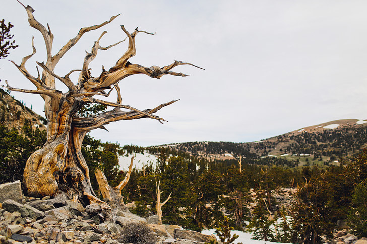 Bristlecone Grove, Great Basin NP, Nevada - oldest living lifeforms on earth // localadventurer.com