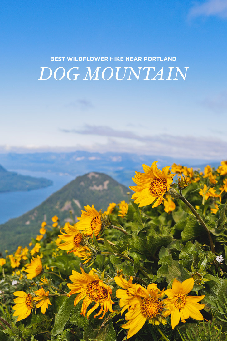 Dog Mountain Hike - Best Wildflower Hike Near Portland // localadenturer.com