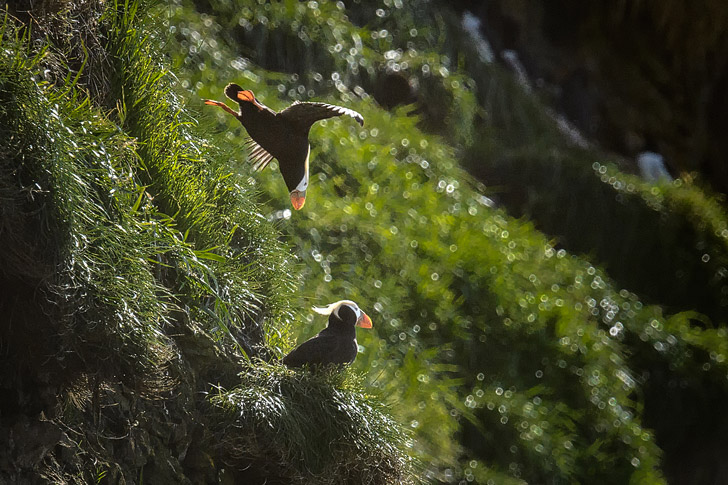 Tufted Puffins, Haystack Rock, Cannon Beach, Oregon (photo: Diana Robinson) // localadventurer.com