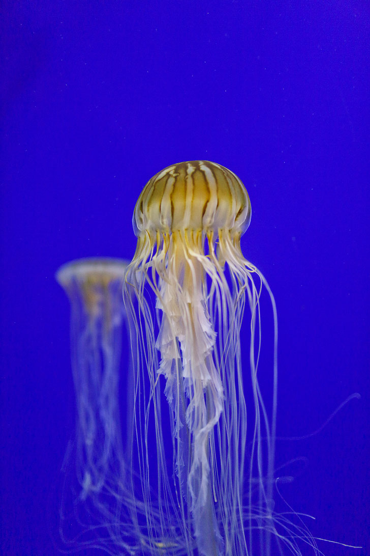 Jellyfish Exhibit + Best Things to Do at the Georgia Aquarium / Georgia Aquarium Tips / Downtown Atlanta Attractions // Local Adventurer