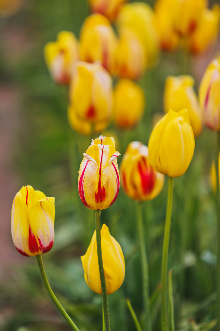 Everything You Need to Know About the Wooden Shoe Tulip Festival 2018 // Local Adventurer