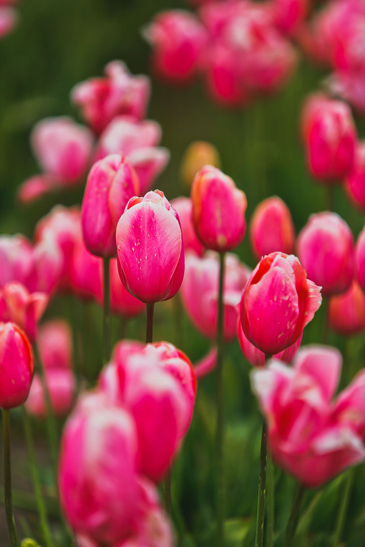 Essential Tips For Visiting The Wooden Shoe Tulip Festival In Oregon