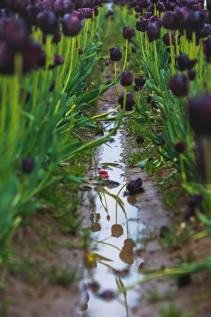 Wooden Shoe Tulip Festival Dates // localadventurer.com