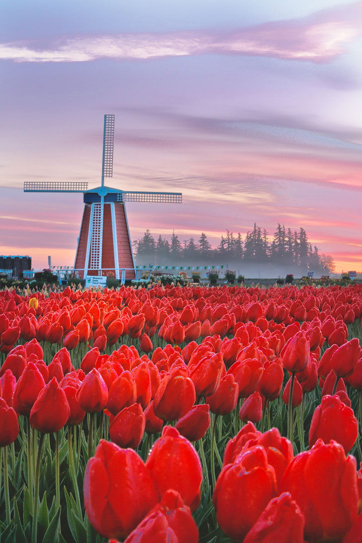 Your Ultimate Guide to the Tulip Festival Woodburn Oregon - What You Need to Know Before You Go - More Amazing Tulip Festivals in the US You Must See // Local Adventurer