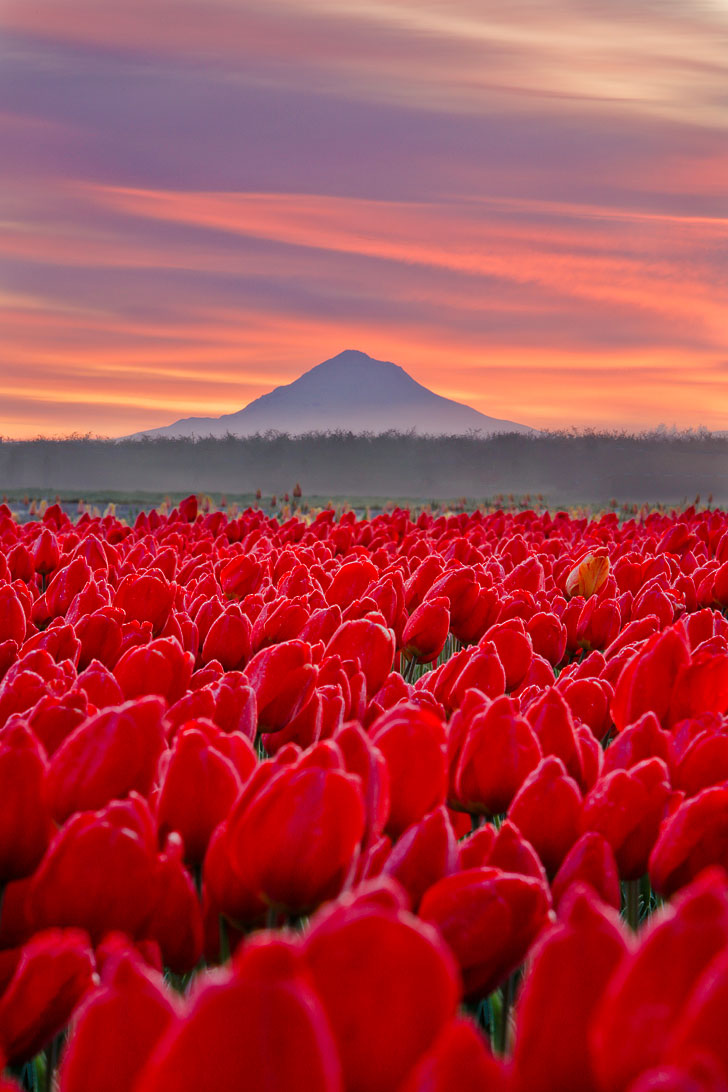 Everything You Need to Know About Visiting the Wooden Shoe Tulip Farm in Woodburn Oregon // Local Adventurer