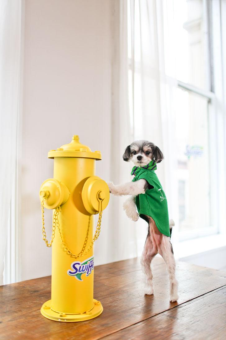 Tinkerbelle the Dog // Local Adventurer #tinkerbellethedog #swiffer #shedhappens