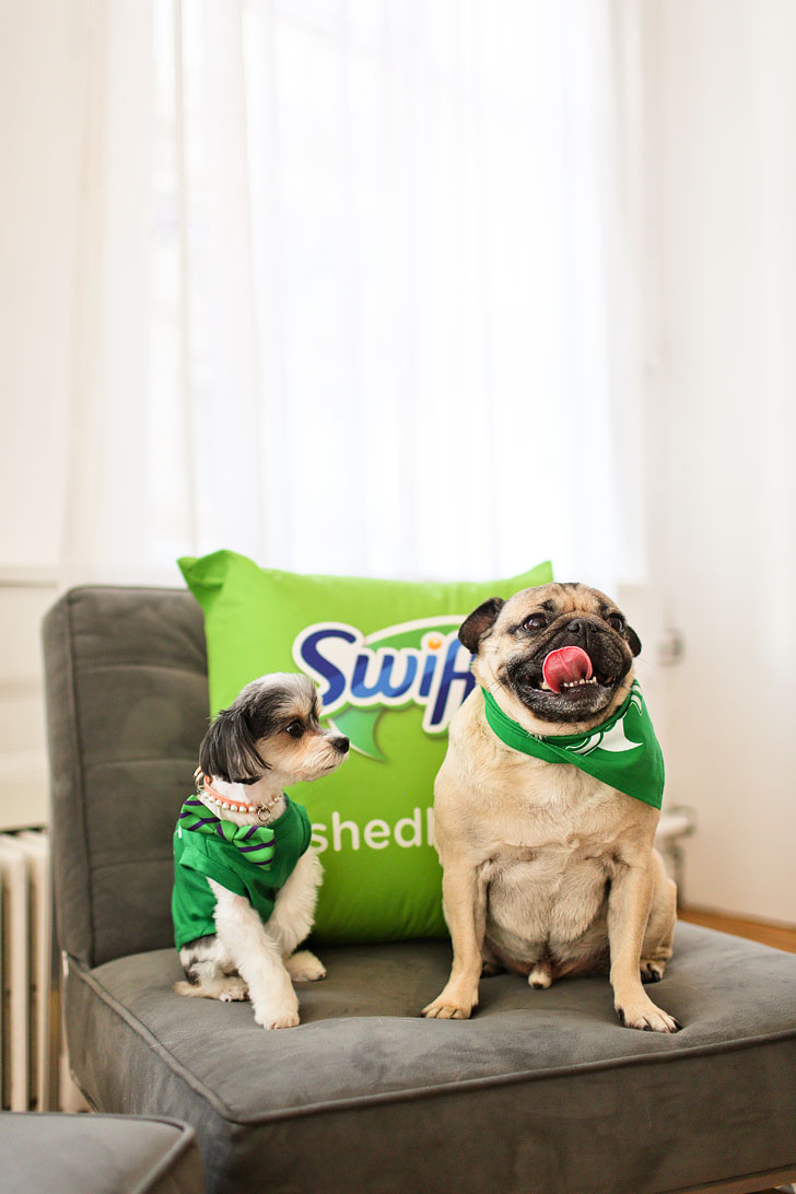 Doug the Pug and Tinkerbelle the Dog // Local Adventurer #dougthepug #swiffer #shedhappens