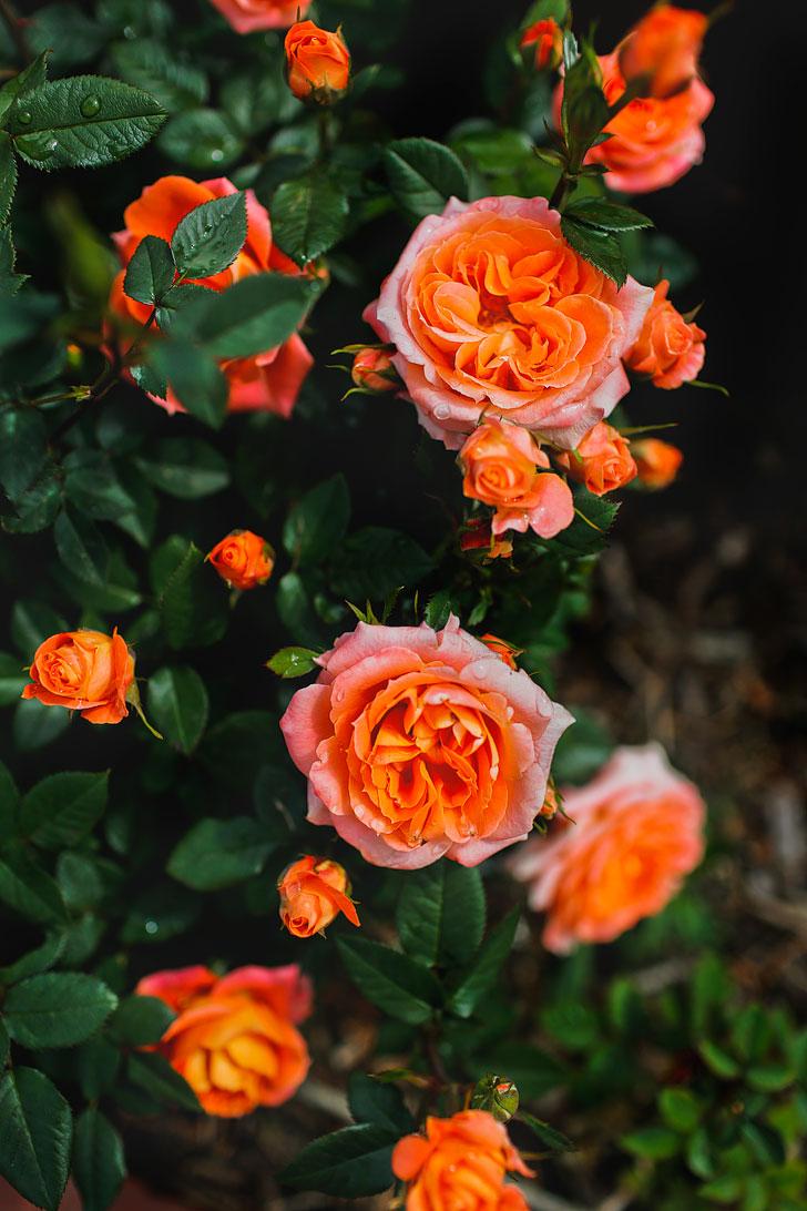 The International Rose Gardens - for your Portland Oregon Summer Bucket List // Local Adventurer #pdx #portland