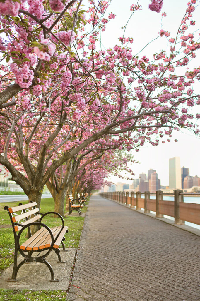 Roosevelt Island Cherry Blossoms - One of the best places to see cherry blossoms in New York // Local Adventurer #nyc #newyork