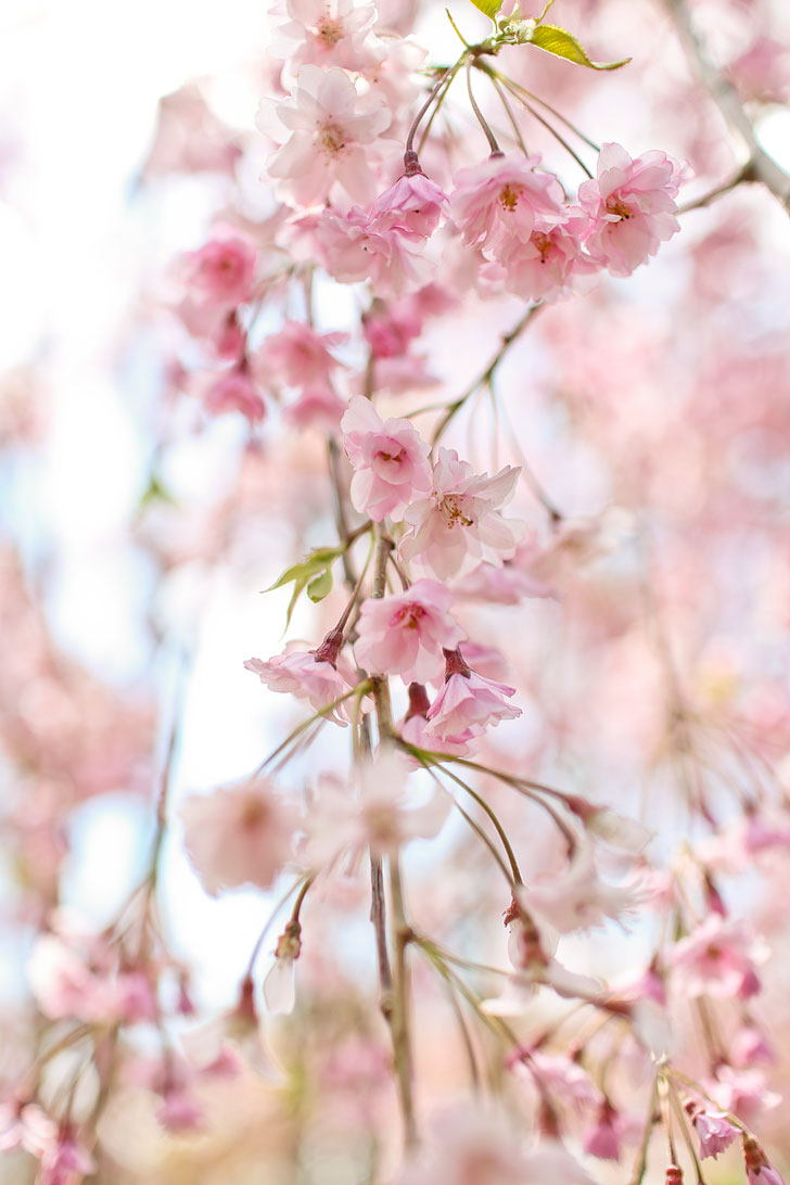 Brooklyn Botanic Garden Cherry Blossom Festival + Best Spots to See Cherry Blossoms in NYC // Local Adventurer #brooklyn #nyc