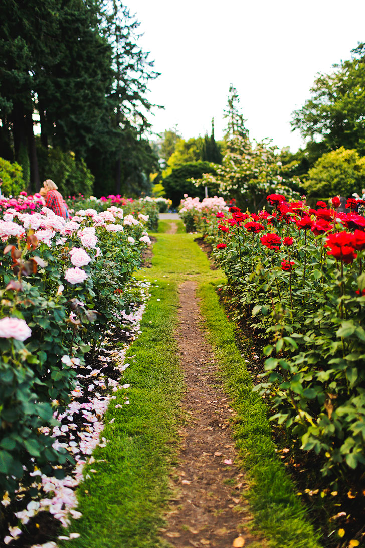 The International Rose Test Garden in Portland Oregon - one of the most popular attractions in PDX // Local Adventurer #portland #roses