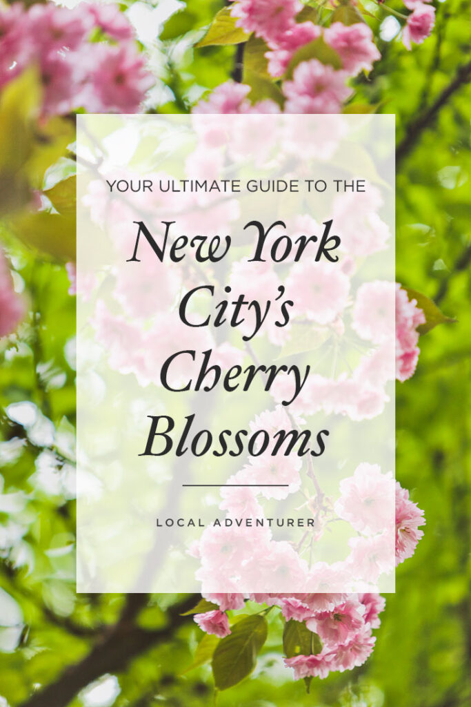 Your Ultimate Guide to New York City's Cherry Blossoms and Cherry Blossom Festivals // Local Adventurer #cherryblossom #nyc