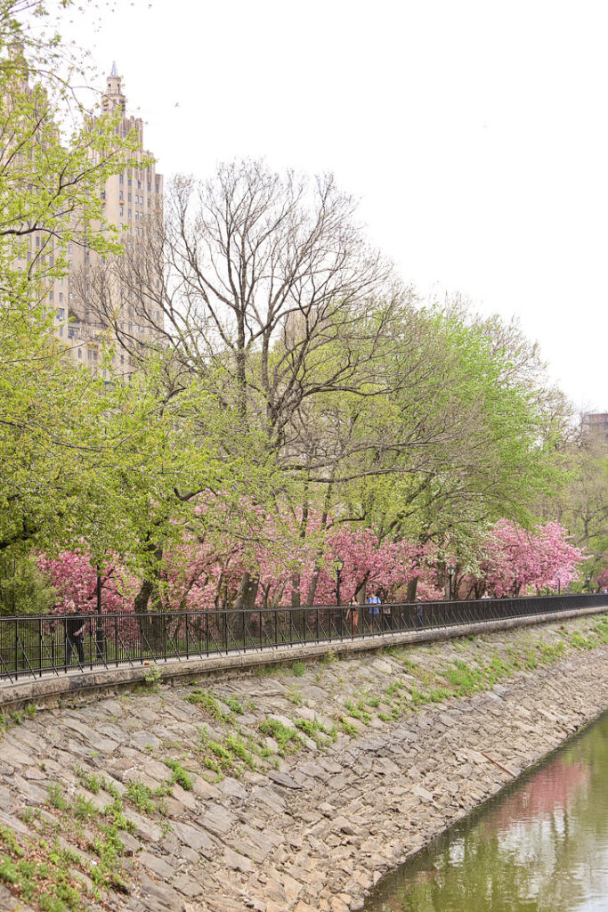 Cherry Blossoms in Central Park on the West side of the Reservoir + Best Places to See Cherry Blossoms in NYC // Local Adventurer #nyc #newyork
