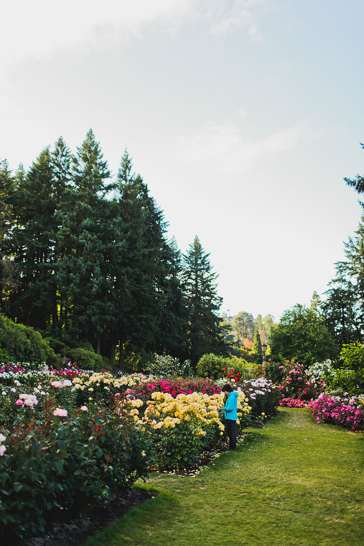 Portland Oregon is commonly called the City of Roses. You can see roses scattered throughout the city, but if you're a visitor, this is the best place to see roses of all varieties. Click through to see more photos and tips for your visit to the International Rose Test Garden. // Local Adventurer #pdx #portland #pnw