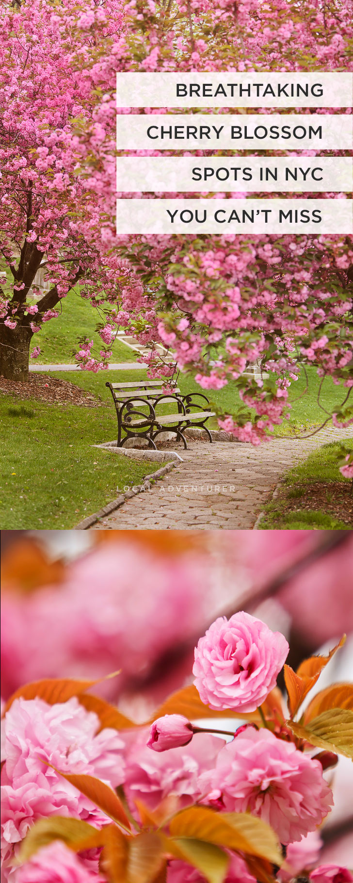 New York Cherry Blossom Festivals and Best Spots to See Them // Local Adventurer #nyc #cherryblossom