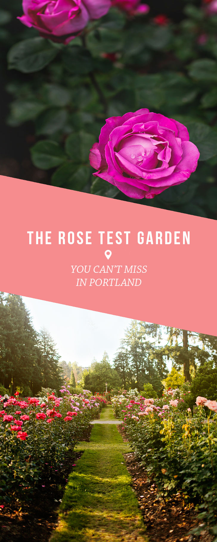 Portland Oregon is the City of Roses. If you're visiting you must check out the International Rose Test Garden in Washington Park // Local Adventurer #portland #oregon #pdx