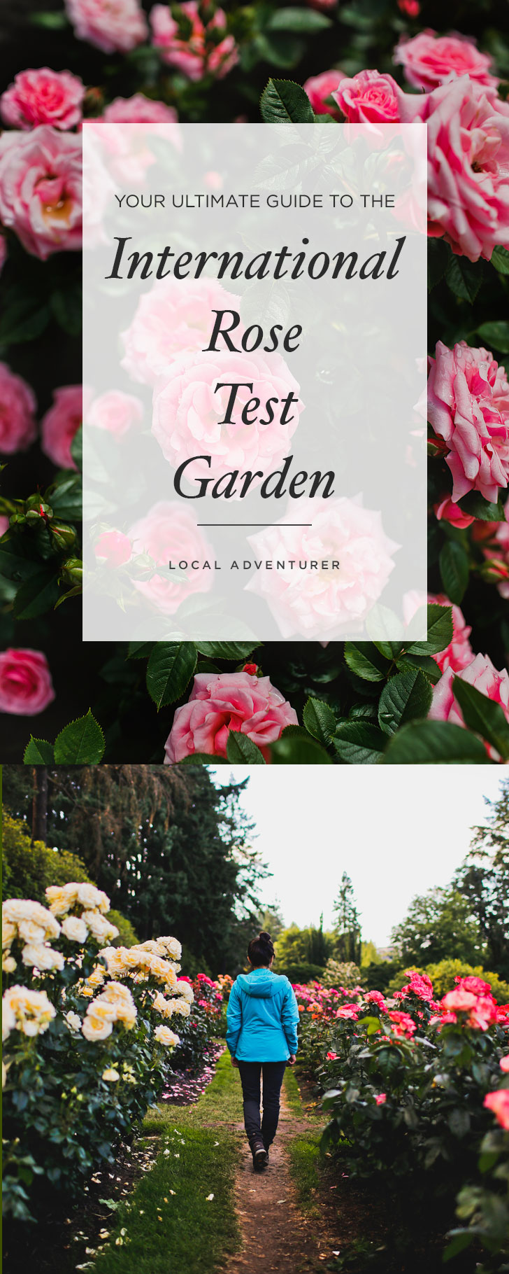 Visiting Portland Oregon? You'll want to visit this Portland rose garden. There are 8,000 rose plants and roughly 550 different varieties. Click through to see more photos and tips // Local Adventurer #pnw #rose #portland