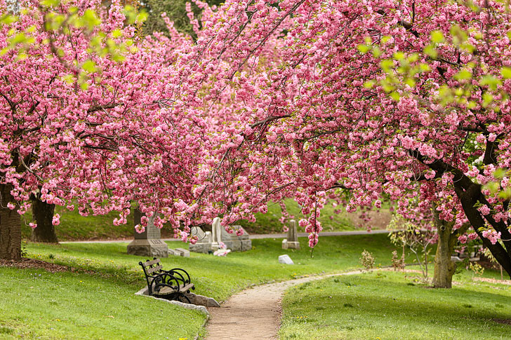 NYC Cherry Blossoms at Green-Wood Cemetery in Brooklyn // Local Adventurer #nyc #brooklyn