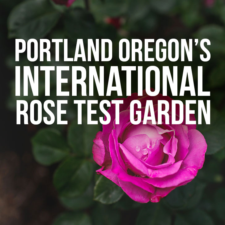 International Rose Test Garden in the City of Roses – Portland Oregon