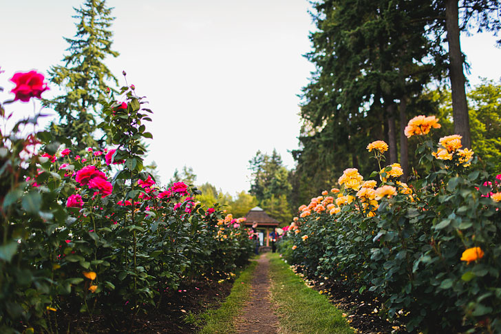Are you visiting Portland in the summer? Portland Oregon is commonly called the City of Roses or Rose City. Check out this article to see the best places to find the roses • Best rose gardens in Portland • Best season and time to visit • Photo of Pittock Mansion // Local Adventurer #pdx #portland #pnw #oregon #roses
