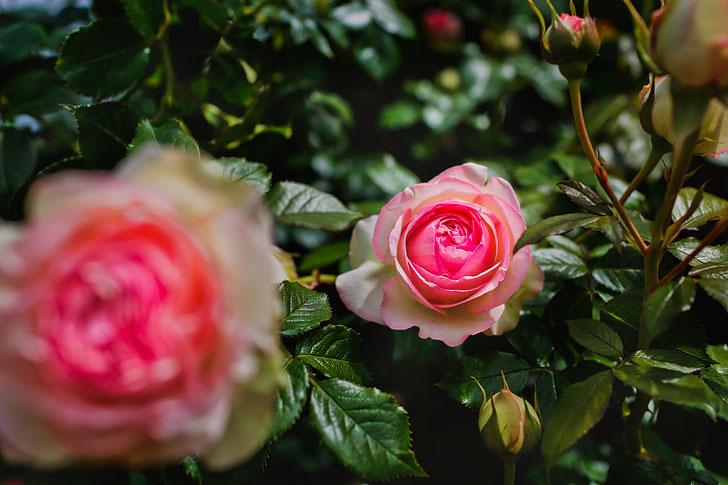 Portland Oregon Things to Do in Summer - Visit the Portland Rose Garden + Parks // Local Adventurer #pdx