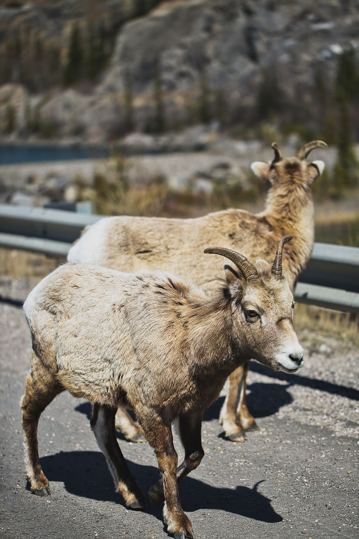 B1 jasper wildlife bighorn sheep - 15 Unforgettable Things to Do in Jasper National Park