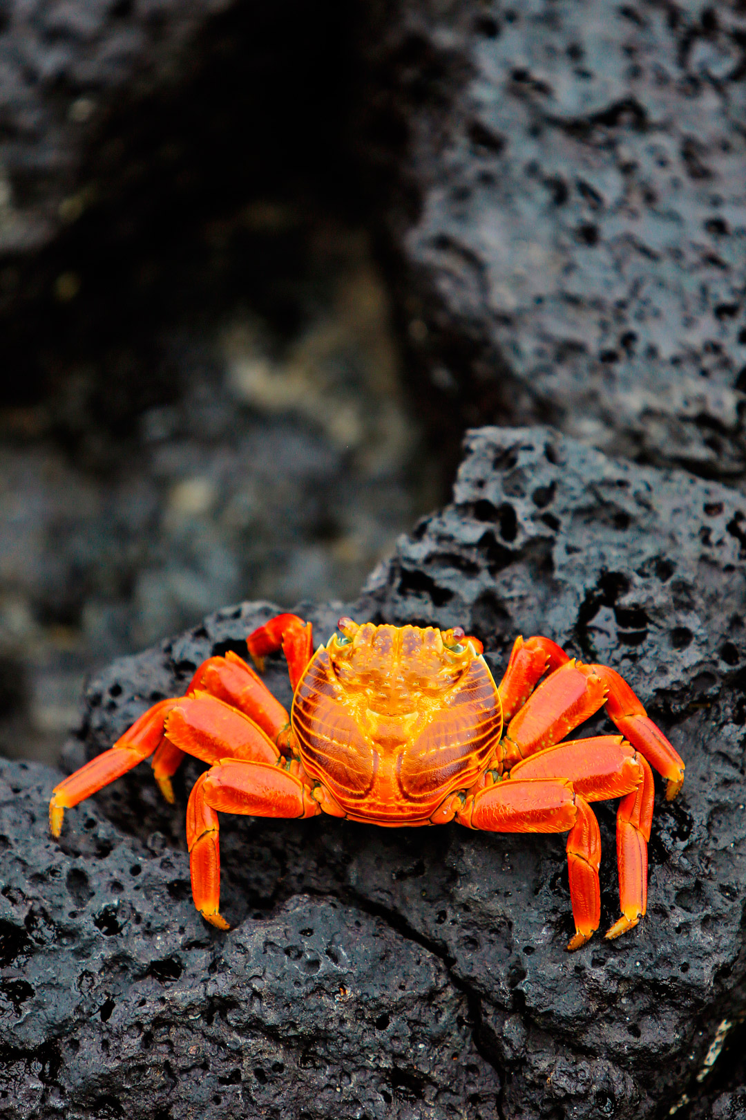 Sally Lightfoot Crab in Puerto Ayora, Santa Cruz Island, Ecuador - Are you visiting the Galapagos Islands? Save this pin and click through to see more details on the 13 best things to do in Galapagos Islands. This post includes the top Galapagos Islands activities, what to see, best places to see wildlife, and essential tips for your visit, and more // Local Adventurer #galapagosislands #galapagos #ecuador #southamerica