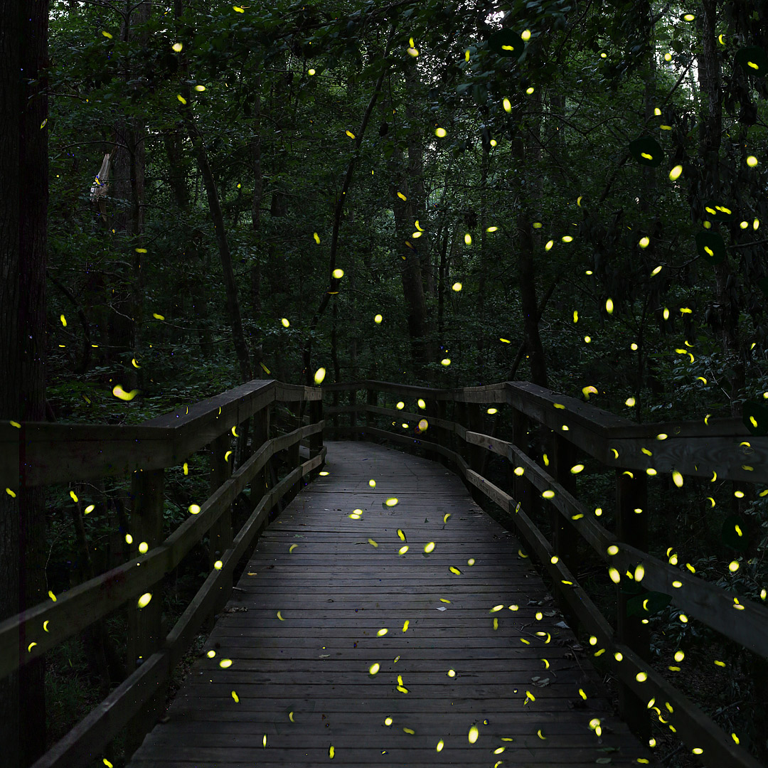 Planning to visit Congaree National Park for the synchronous fireflies? Check out this pin and save it to see the ultimate guide to the national park. Check out our list of the best things to do in Congaree National Park, which ranger program you should sign up for, how to pack for the trip, and where you should stay. // Local Adventurer #localadventurer #discoverSC #southcarolina #visittheusa #realcolumbiasc