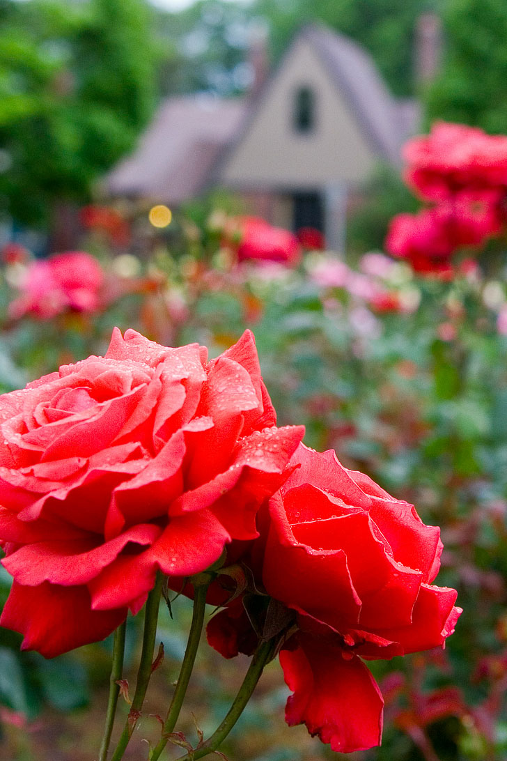 Ladd's Addition is a Portland Neighborhood that has Four Rose Gardens in Each Corner • Best of Portland Rose Garden Parks • Best Season and Time to Visit • Includes International Rose Test Garden, Peninsula Park, and More • Photo by Nelson Minar // Local Adventurer #pdx #portland #pnw #oregon #roses