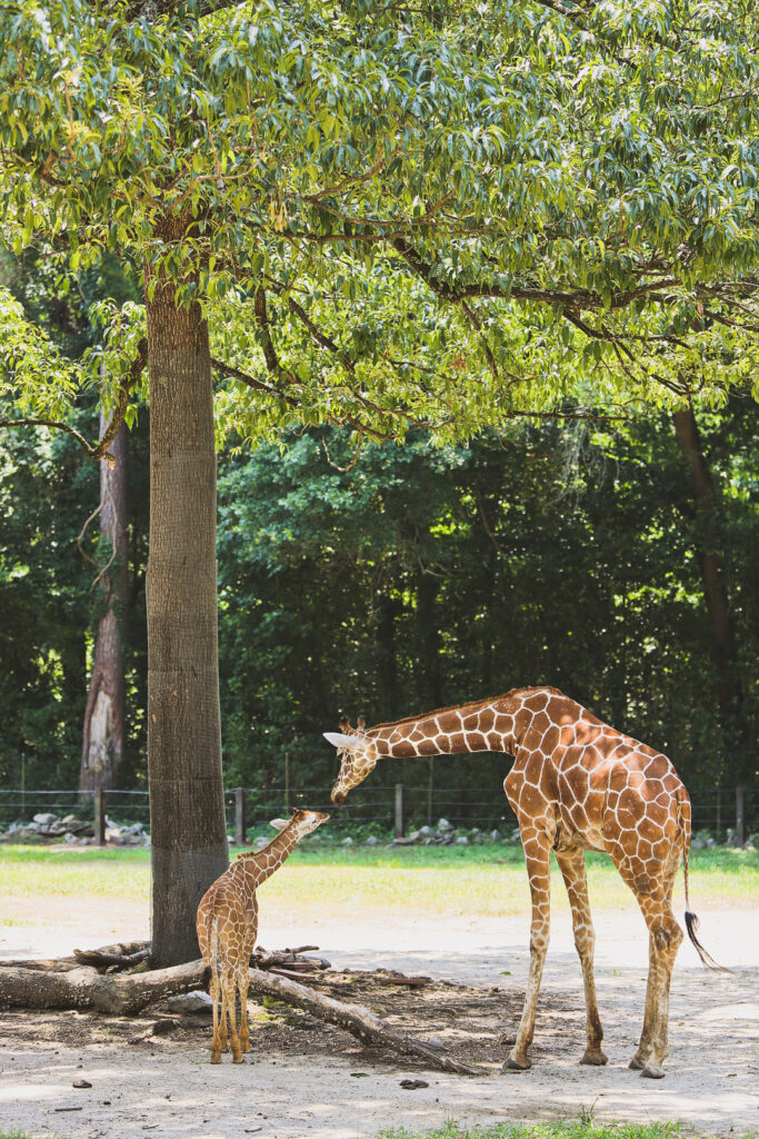 Want to learn about our favorite things in Columbia SC? Take a look at these 15 fun things to do in columbia sc. Photo featuring Riverbanks Zoo columbia sc. It also includes cool free things to do in columbia sc, best places to eat in columbia sc, fun date ideas columbia sc, and top columbia tourist attractions // Local Adventurer #RealColumbiaSC #columbiasc #discoverSC #southcarolina #visittheusa #usa