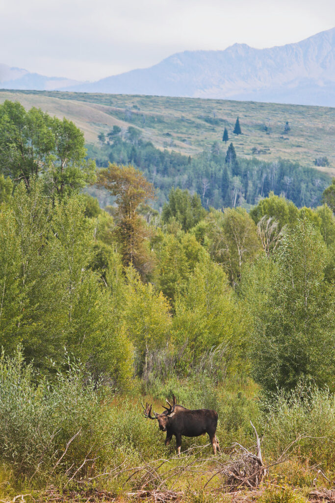 Moose Wilson Road - One of your best chances of spotting Moose in Grand Teton National Park Wyoming // Local Adventurer #wyoming #wy #usa #travel #outdoors #hiking #adventure #grandteton #moose #wildlife