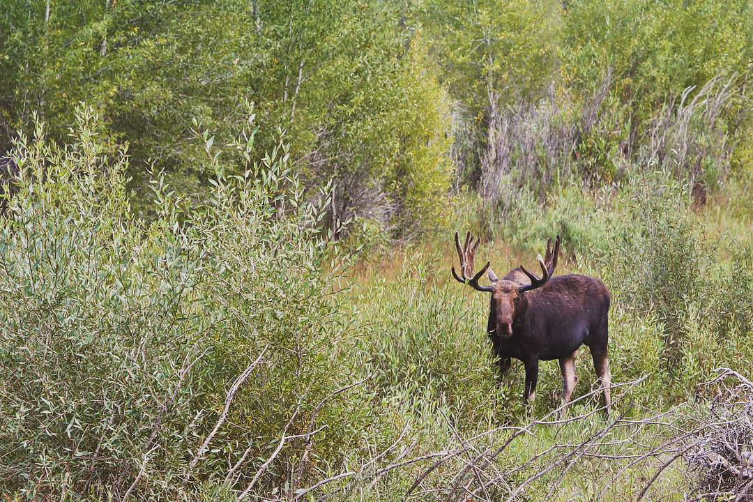 Moose Wilson Road Wyoming - One of your best chances of spotting Moose in Grand Teton National Park // Local Adventurer