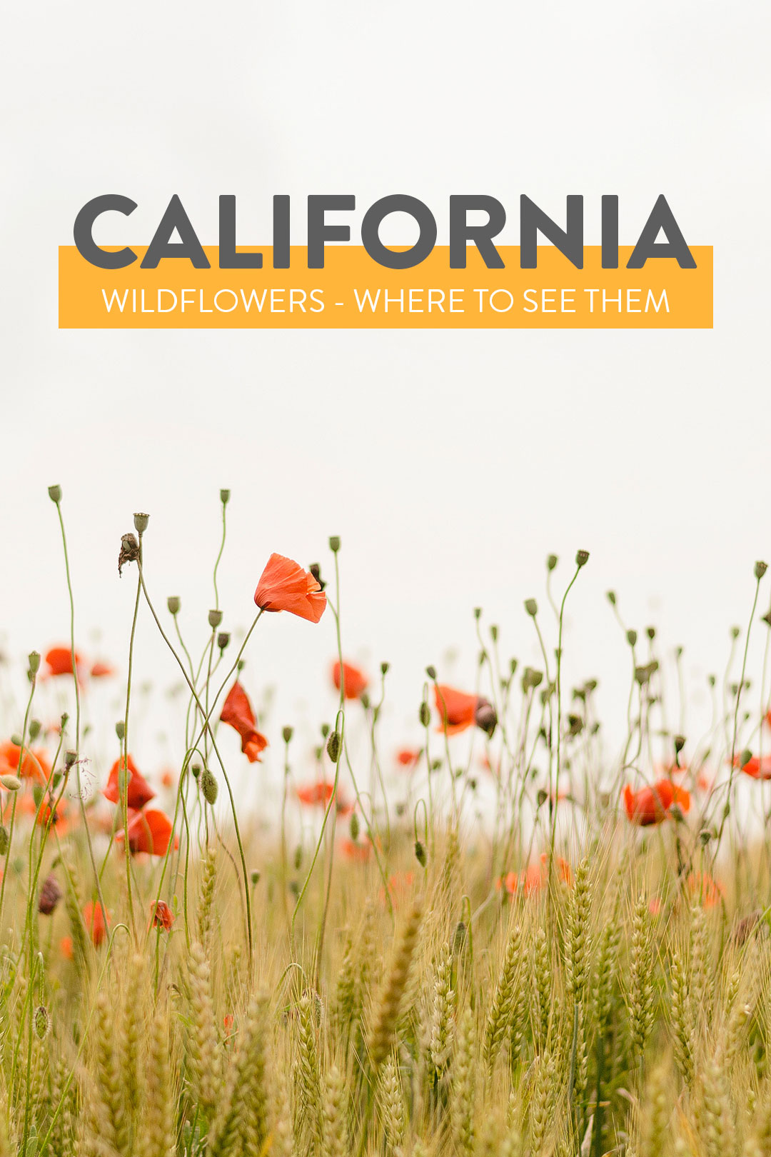 California Wildflowers - When and Where to See the Superbloom