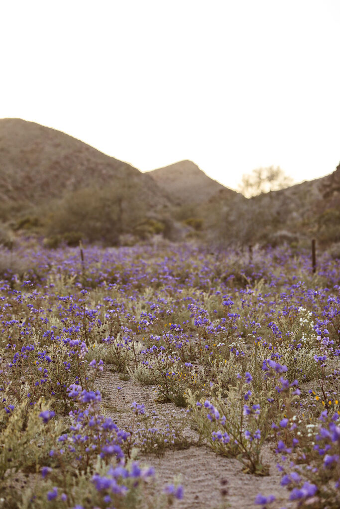 Joshua Tree Super Bloom + 11 Best Places to See California Wildflowers