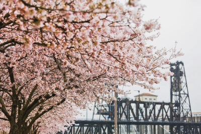 Tom McCall Waterfront Park Cherry Blossoms // Local Adventurer #pdx #portland #oregon