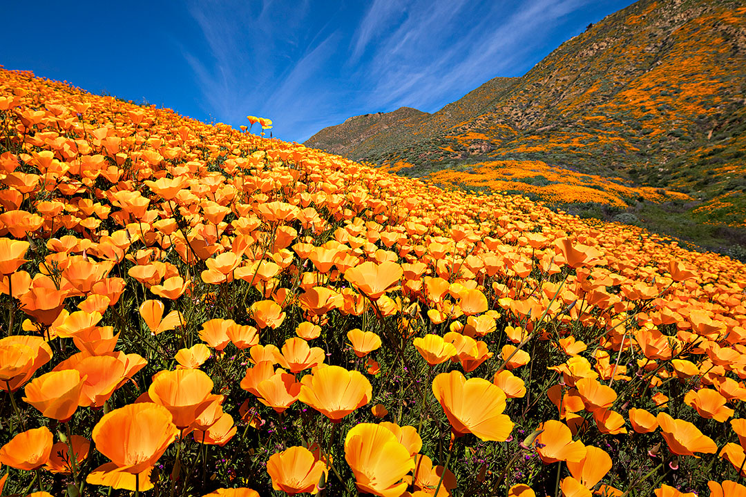 Walker Canyon California Wildflowers + Where to Find the Best Flower Fields in California // Local Adventurer #california #walkercanyon