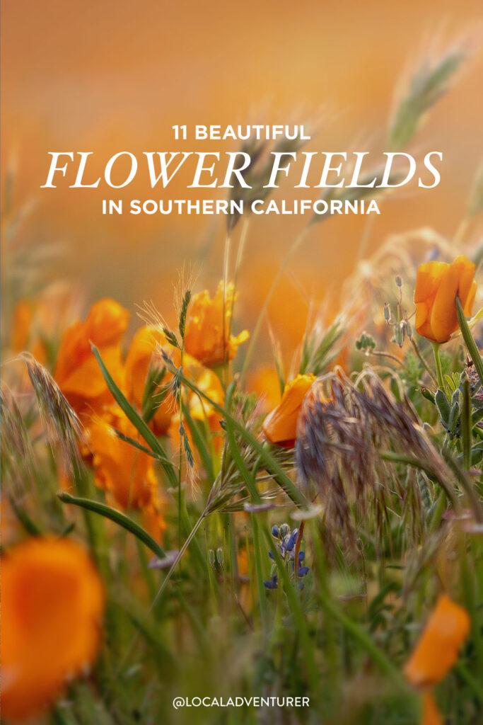 Wildflowers Southern California