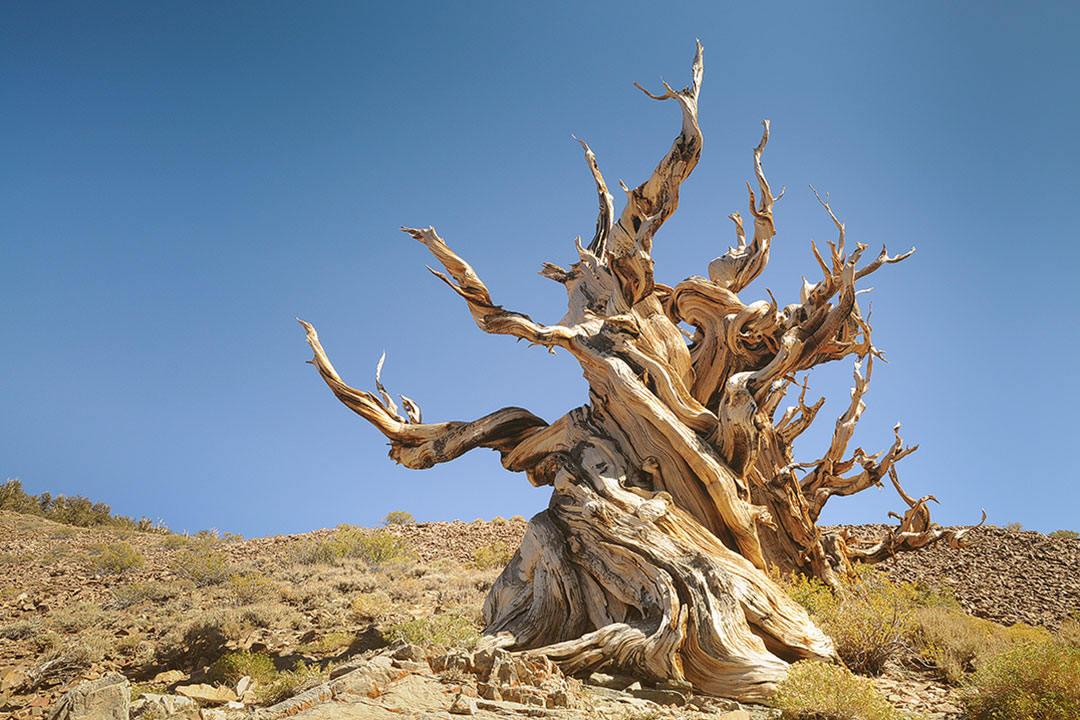 Ancient Bristlecone Pine Forest has the Oldest Tree in the World + Things to Do Bishop CA