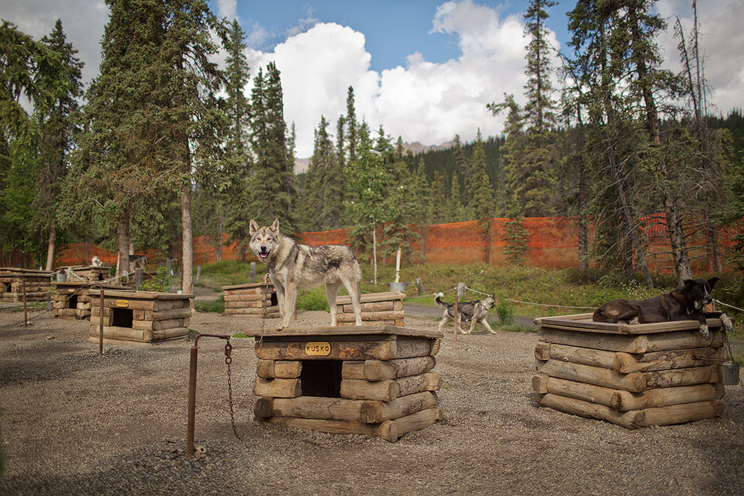 Meet the Canine Rangers at the Denali Dog Kennels