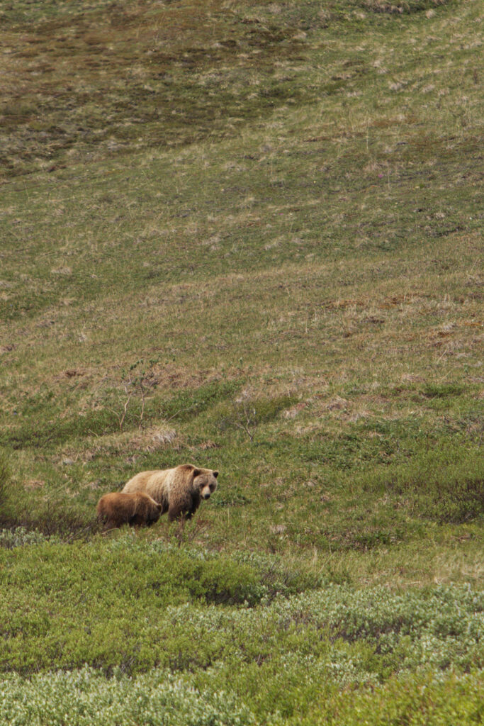 Seeing Denali Grizzly Bear on the Tundra Wilderness Tour